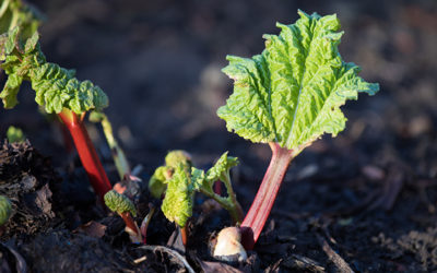 Rhubarb – the first ingredient of the year